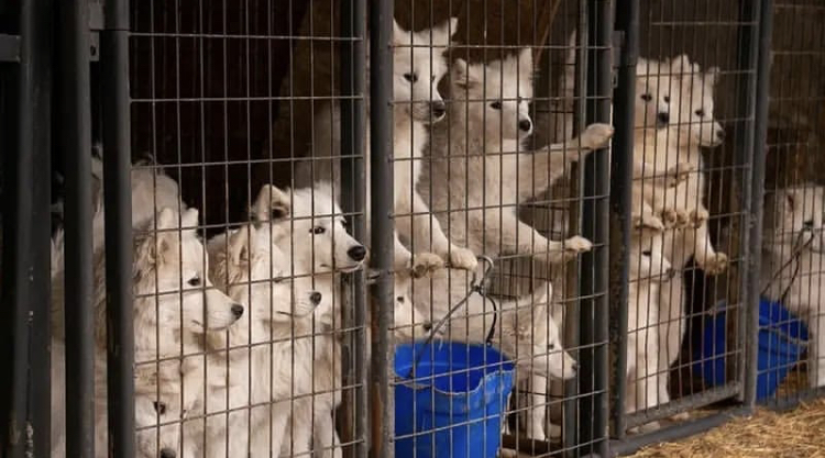 Puppies+from+the+170+Samoyed%27s+rescued.