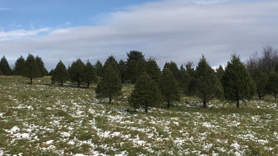 A Courier Exploration of Miller's Meadowood Christmas Tree Farm
