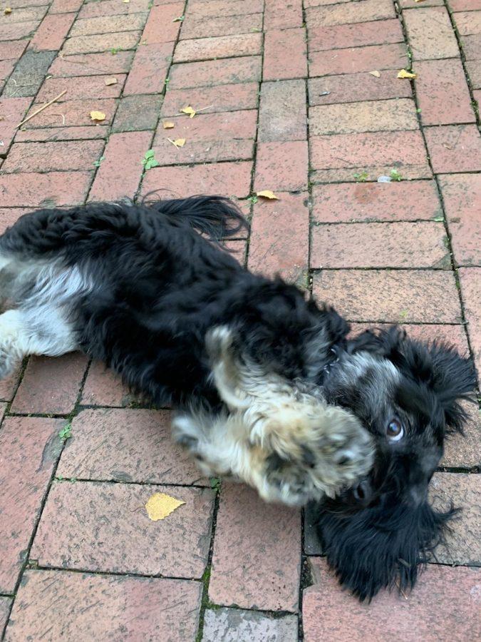 Senior Elise Kineke's dog Lola flails around on the ground. Photograph by Elise Kineke