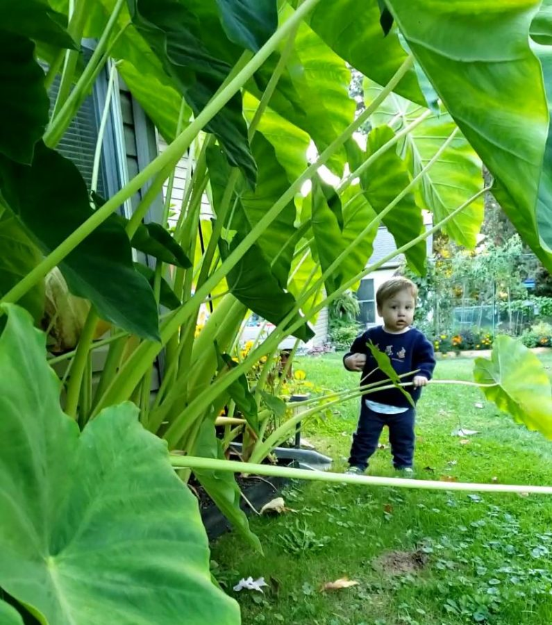 English teacher Sara Mooney's son, Lucas, pretends he is in a jungle of elephant ear plants.   Photograph by Sara Mooney